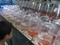 Pasar Ikan Hias Sumenep