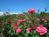 Wisata Petik Bunga Mawar GUMUR
