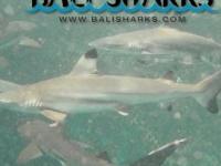 Bali Shark