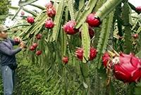 Agrowisata Buah Naga Riau